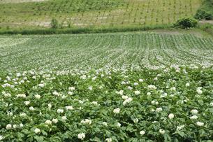 白い花をつけたジャガイモ畑の写真素材 [FYI04841349]