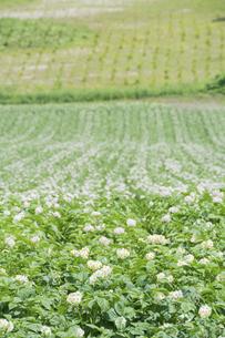 白い花をつけたジャガイモ畑の写真素材 [FYI04841350]