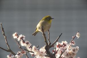 梅の花とメジロの写真素材 [FYI04841603]