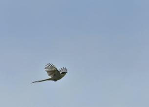 オナガの飛翔の写真素材 [FYI04841616]