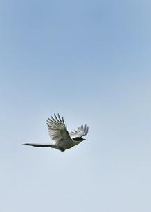 オナガの飛翔の写真素材 [FYI04841617]