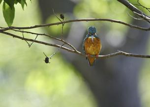止まり木のカワセミの写真素材 [FYI04841652]
