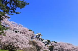 北陸金沢城 石川門と桜に松の写真素材 [FYI04841801]