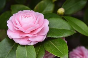 ピンク色のツバキの花(ツバキ科ツバキ属の常緑樹)とつぼみと葉の写真素材 [FYI04841920]