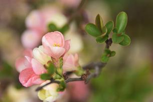 ボケ(バラ科ボケ属の落葉低木)のピンク色の花と葉の写真素材 [FYI04841930]