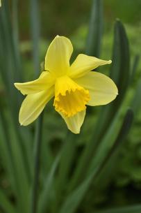 ラッパスイセンの(ヒガンバナ科)黄色い花の写真素材 [FYI04841935]