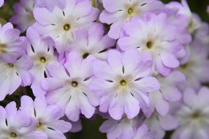 セイヨウユキワリソウ(サクラソウ科)のピンク色の花の写真素材 [FYI04841937]