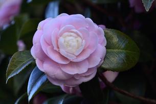 ピンク色のツバキの花(ツバキ科ツバキ属の常緑樹)と葉の写真素材 [FYI04841940]