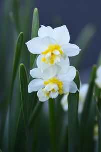 スイセン(ヒガンバナ科)の白い花と葉の写真素材 [FYI04841953]
