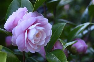 ピンク色のツバキの花(ツバキ科ツバキ属の常緑樹)とつぼみと葉の写真素材 [FYI04841963]