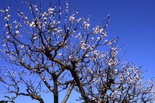 満開に咲いたウメ(バラ科サクラ属の落葉高木)の花と幹と枝と空の写真素材 [FYI04841970]