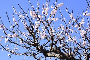 満開のウメ(バラ科サクラ属の落葉高木)の花と幹と枝と空の写真素材 [FYI04841972]