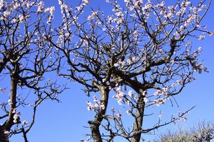 満開に咲いたウメ(バラ科サクラ属の落葉高木)の花と幹と枝と空の写真素材 [FYI04841973]