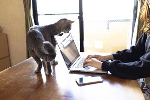 ノートパソコンで作業する女性の手元とそれをのぞき込む猫の写真素材 [FYI04841987]