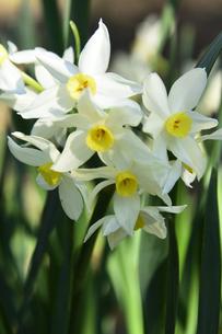スイセン(ヒガンバナ科)の白い花と葉の写真素材 [FYI04841996]