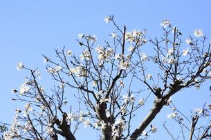 コブシ(モクレン科モクレン属の落葉広葉樹の高木)の白い花と枝と空と幹の写真素材 [FYI04842003]