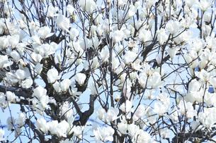 白モクレン(モクレン目モクレン科モクレン属の落葉低木)の花と枝と幹の写真素材 [FYI04842020]