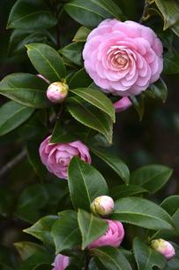 ピンク色のツバキの花(ツバキ科ツバキ属の常緑樹)とつぼみと葉の写真素材 [FYI04842037]