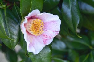 ピンク色の斑が入っているツバキの花(ツバキ科ツバキ属の常緑樹)と葉の写真素材 [FYI04842058]