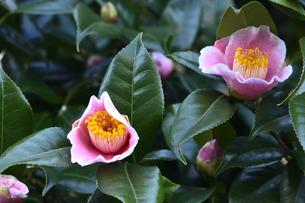 白い縁取りのあるピンク色のツバキの花(ツバキ科ツバキ属の常緑樹)とつぼみと葉の写真素材 [FYI04842064]