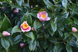 白い縁取りのピンク色のツバキの花(ツバキ科ツバキ属の常緑樹)とつぼみと葉の写真素材 [FYI04842067]