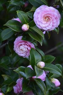 ピンク色のツバキの花(ツバキ科ツバキ属の常緑樹)とつぼみと葉の写真素材 [FYI04842070]