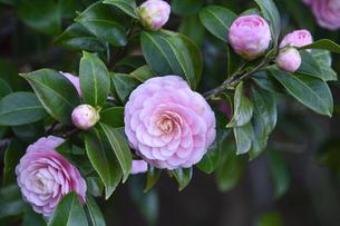 ピンク色のツバキの花(ツバキ科ツバキ属の常緑樹)とつぼみと葉の写真素材 [FYI04842074]