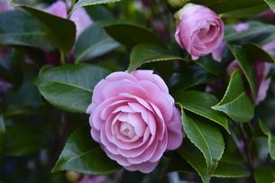 ピンク色のツバキの花(ツバキ科ツバキ属の常緑樹)とつぼみの写真素材 [FYI04842118]