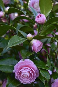 ピンク色のツバキの花(ツバキ科ツバキ属の常緑樹)とつぼみの写真素材 [FYI04842121]
