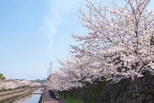 平和市民公園の桜並木の写真素材 [FYI04842267]