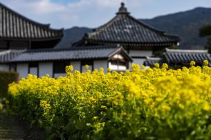 菜の花咲く飛鳥寺の写真素材 [FYI04842378]