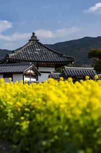 菜の花咲く飛鳥寺の写真素材 [FYI04842380]