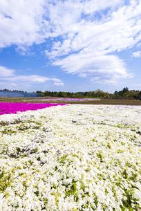 富田さとにわ耕園 満開のシバザクラの写真素材 [FYI04842457]
