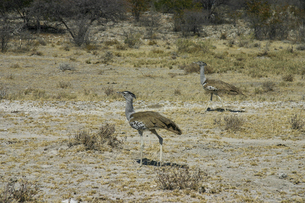 世界一重い現生飛翔性鳥類アフリカオオノガンの写真素材 [FYI04842595]