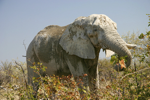 草を食む老いたアフリカゾウの写真素材 [FYI04842596]