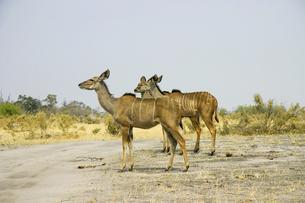 カラハリ砂漠に生息しているクーズーの雌の写真素材 [FYI04842598]