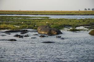 アフリカ・ザンベジ川のカバの群れの写真素材 [FYI04842599]