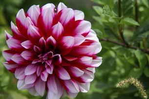 満開に咲いたダリアの花の写真素材 [FYI04842622]