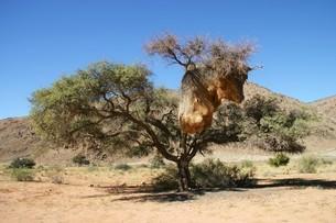 世界最大の巣を作る小鳥シャカイハタオリの巣の写真素材 [FYI04842641]