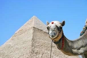 エジプトのピラミッドをバックにカメラ目線のラクダの写真素材 [FYI04842648]