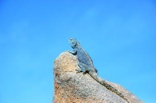 岩の頂上でアフリカの青空を見上げる色鮮やかなトカゲの写真素材 [FYI04842651]