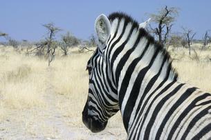 野生のシマウマ(ナミビア・エトーシャ国立公園)の写真素材 [FYI04842658]