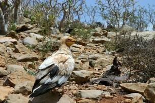 エジプトハゲワシ in ソコトラ島・イエメンの写真素材 [FYI04842664]