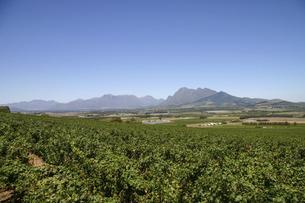 ワイン産地で知られる南アフリカ・ステレンボッシュのブドウ畑の写真素材 [FYI04842688]
