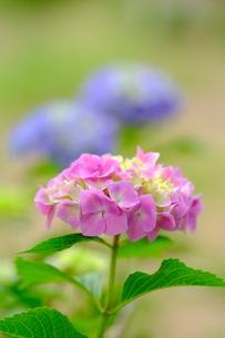 紫陽花の花の写真素材 [FYI04842709]