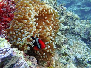 センジュイソギンチャクとハマクマノミ・沖縄の海の写真素材 [FYI04842790]