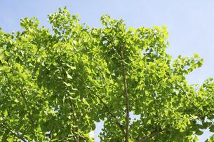 いちょうの新緑の写真素材 [FYI04842811]