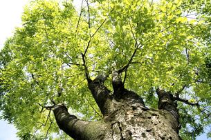 新緑のけやきの写真素材 [FYI04842818]