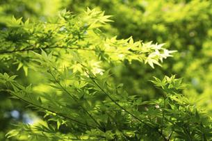 新緑の楓の写真素材 [FYI04842820]