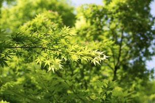 新緑の楓の写真素材 [FYI04842821]